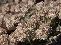 purple cushion buckwheat, Eriogonum ovalifolium var. purpureum