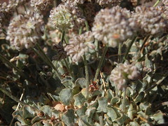 purple cushion buckwheat, Eriogonum ovalifolium var. purpureum