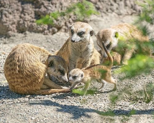 A baby African Meerkat