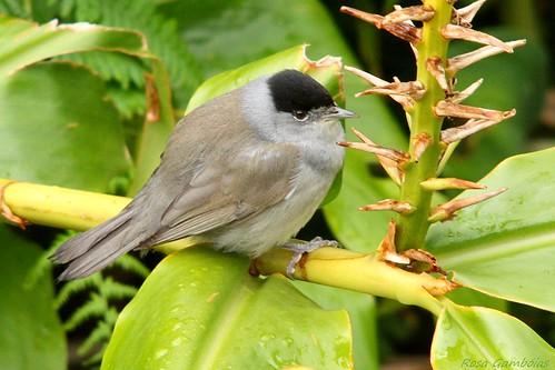 Toutinegra dos Açores | Blackcap (atlantis) (Sylvia atricapilla atlantis)