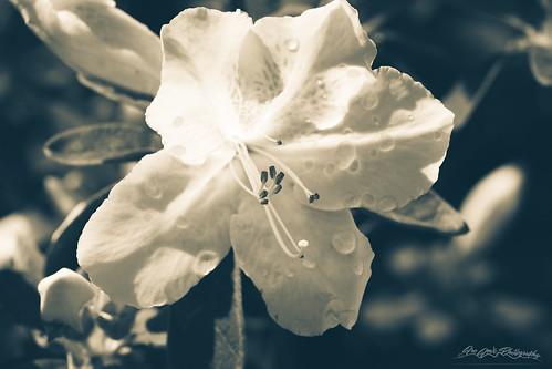 Split Tone White Rhododendron