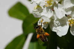 Abeilles - Bees