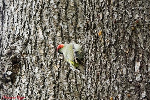 Pic vert European Green Woodpecker Picus viridis