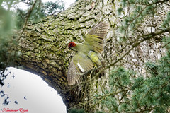 Pic vert European Green Woodpecker Picus viridis - Photo of Saint-Aubin-de-Médoc