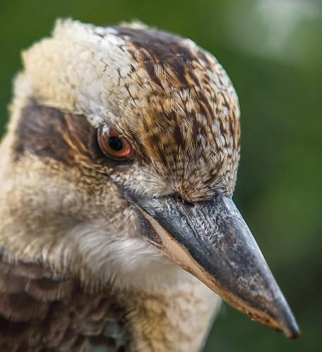 Kookaburra.