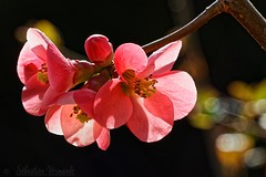 New life - Chaenomeles japonica - Photo of Sabadel-Latronquière