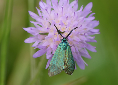The Forester moth (Adscita statices)