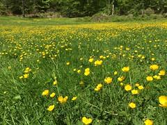 Buttercups in Rock Creek Park