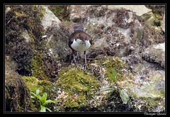 Cincle plongeur (Cinclus cinclus) - Photo of Belan-sur-Ource