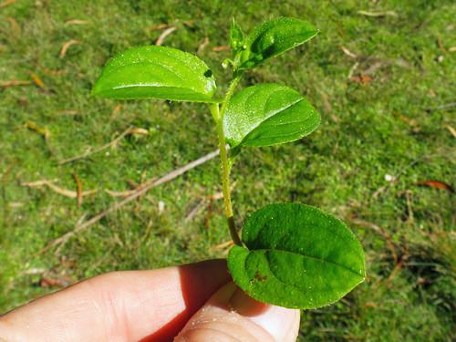 Hackelia latifolia leaf NC1