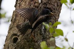 Étourneau sansonnet - Sturnus vulgaris - Common Starling : Michel NOËL © 2019 - IMG_6085