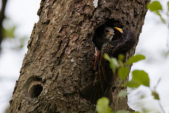 Étourneau sansonnet - Sturnus vulgaris - Common Starling : Michel NOËL © 2019 - IMG_6089