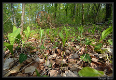 Muguet sauvage (Convallaria majalis)