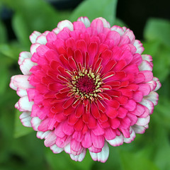 A beautiful zinnia from the Whirligig Mix