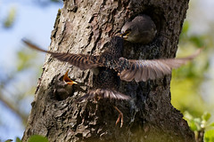 Étourneau sansonnet - Sturnus vulgaris - Common Starling : Michel NOËL © 2019 - IMG_6365