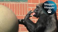Honey On The Big Ball Is Finger Licking Good For Gorilla Asante