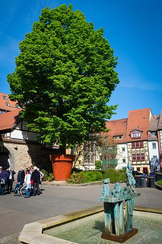 The tree in a flowerpot ... seen in a courtyard in Erfurt, Germany