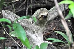 Sloth (Bradypus variegatus), Costa Rica