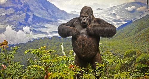 Gorillas in the Mist DSC_3233