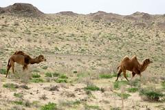 Karakalpakstan, pustynia Qyzylqum