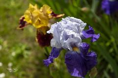 Iris du Jardin DSC08057 - Photo of Balazé