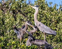 Great Blue Heron Chicks Fighting for Position
