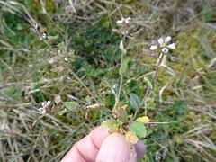 Microthlaspi perfoliatum - Photo of Lessay
