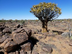 Quiver Tree Forest - Namibie