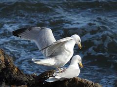 Herring gulls 3 DSCN6882