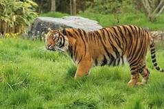 Tigre de Sumatra (Panthera tigris sumatrae) - Photo of Dompierre-sur-Besbre