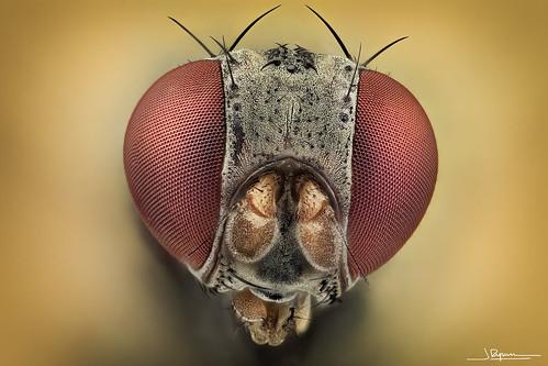 ojos de mosca diminuta