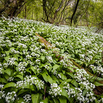 Wild Garlic in North Hampshire