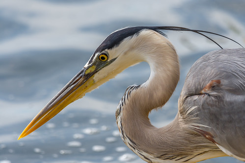 Great Blue Heron (Grand Héron)