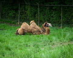 Chill Camel (1)