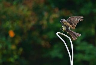 Tropical Kingbird  Tyrannus melancholicus