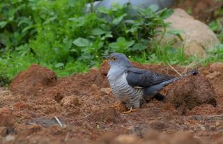 大杜鵑 Common Cuckoo