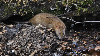 Wanderratte / brown rat