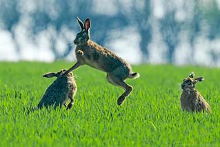 Brown Hare ( Lepus europeas )