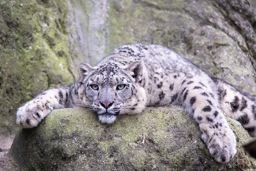 Snep lying on a rock
