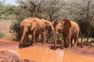 Image taken at the David Sheldrick Elephant Orphanage in Nairobi, Kenya 0099