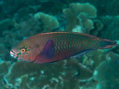Swarthy parrotfish (Scarus niger)