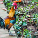 2019 - Singapore - Red Junglefowl Fort Canning Park