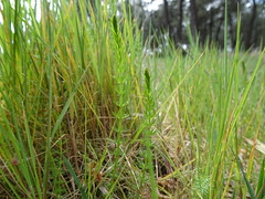 Whorled Caraway (Carum verticillatum)