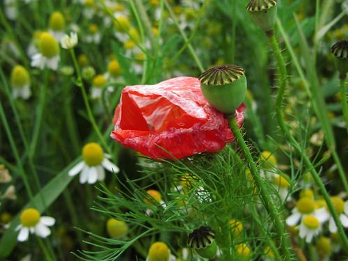 20120606 059 Blume Mohn rot