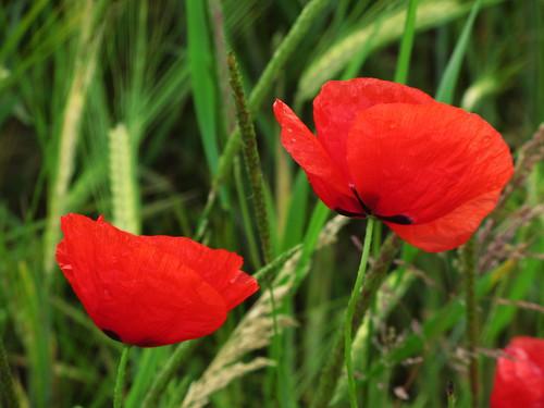 20120606 119 Blume Mohn rot_K