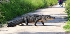 Gators and Crocs