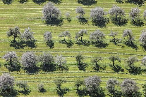 Old Flowering Trees