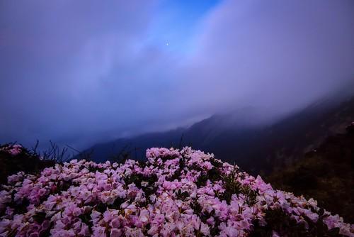 Alpine flowers , Mountain Hehuan  合歡山高山杜鵑