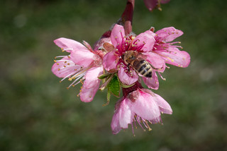 With spring well established and the orchard in full bloom, it's wonderful to see the bees.