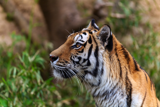 portrait-of-tiger-from-the-side_190419